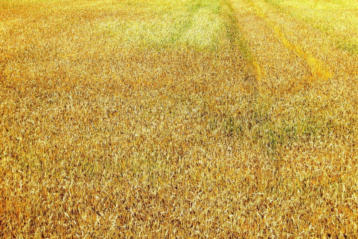 yellow field of grain