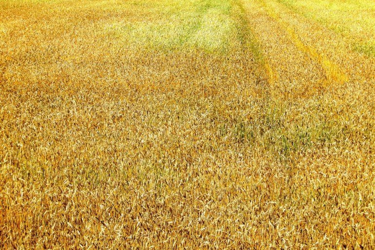 yellow field of grain
