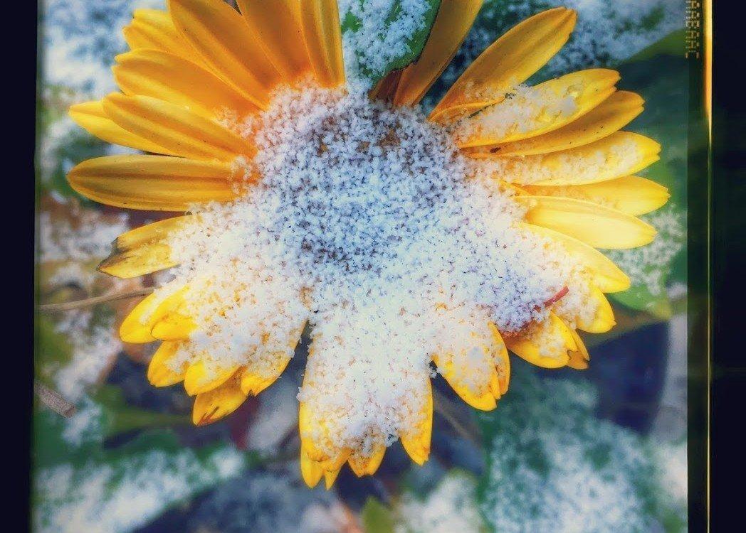 yellow flower, flash frozen in ice