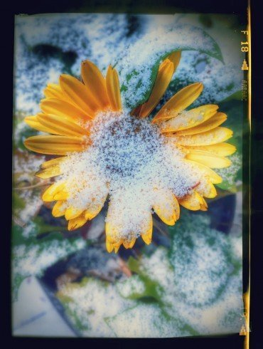 yellow flower, flash frozen in ice