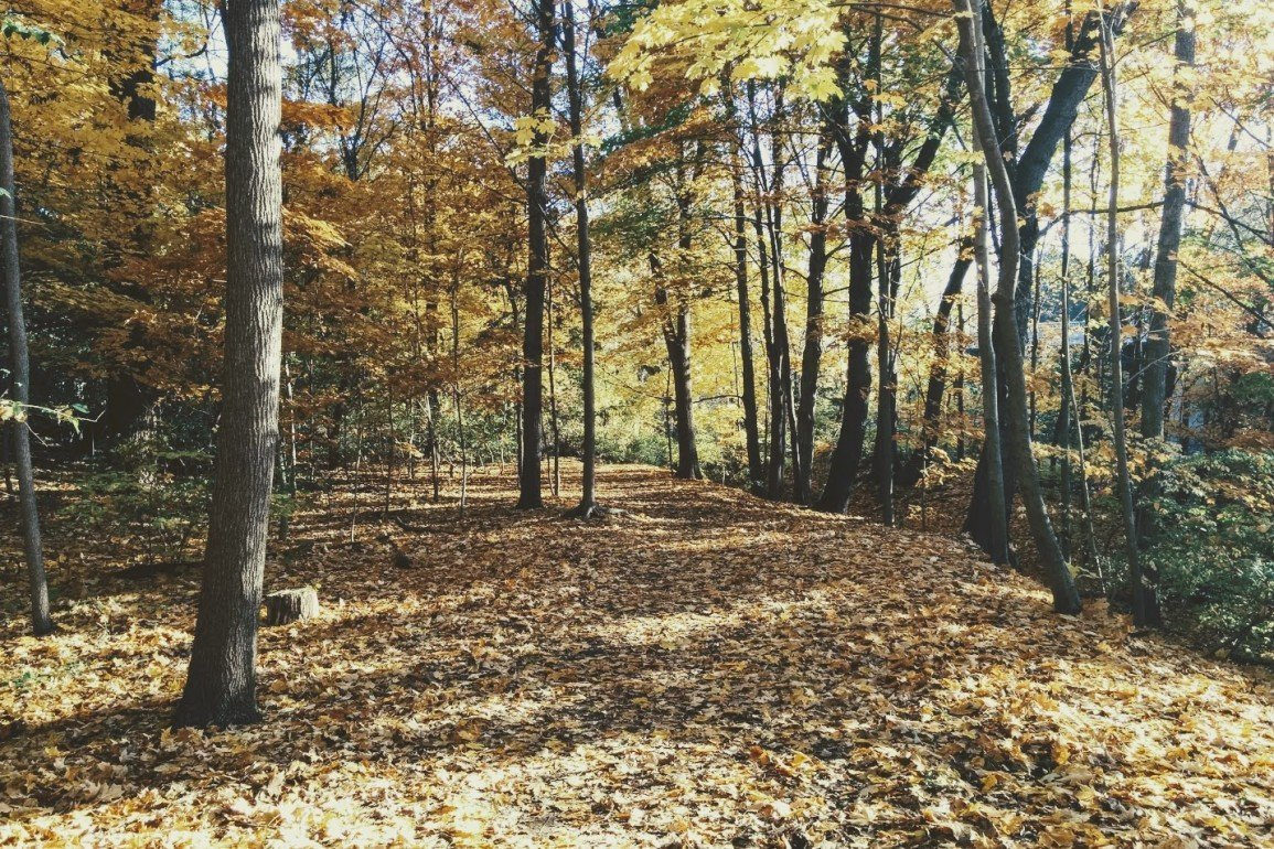 forest with yellow leaves covering the ground