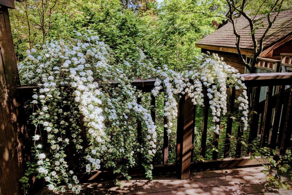 flowering shrub on wood deck in backyard with shed