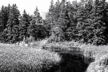 black and white image of evergreen forest, marsh grasses and stream