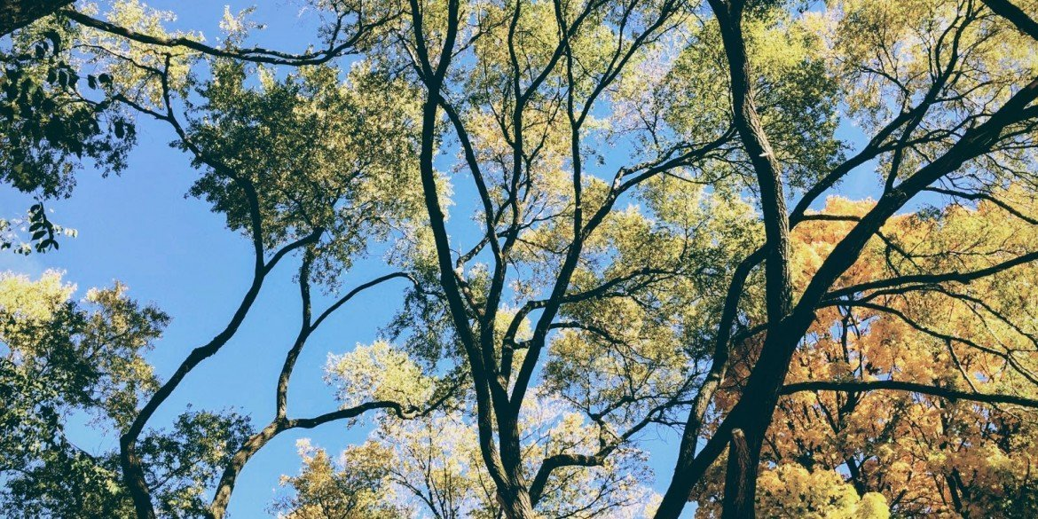 looking up into branches of tall, leafy elm tree and blue sky