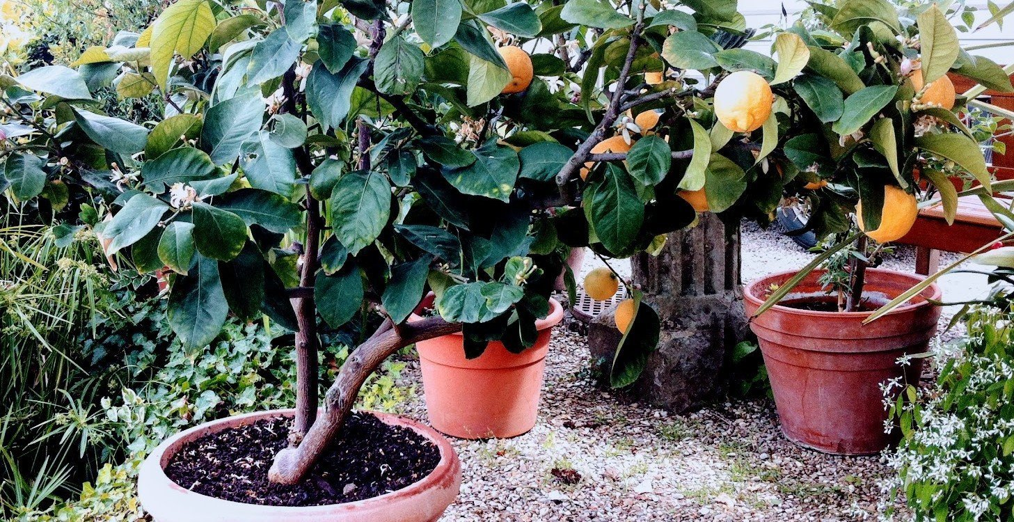 several small dark leafy lemon trees in clay pots