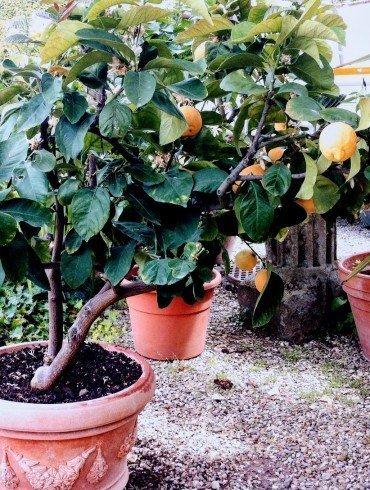 several small dark leafy lemon trees in clay pots