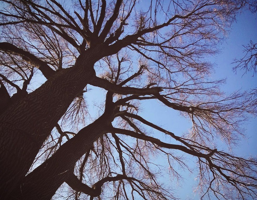 looking up at the sky through the branches of a very tall elm tree