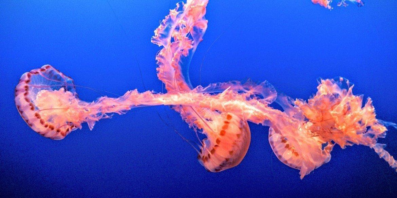 orange sea creature floating in deep blue water
