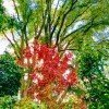 red leafed maple tree surrounded by taller green leafed trees