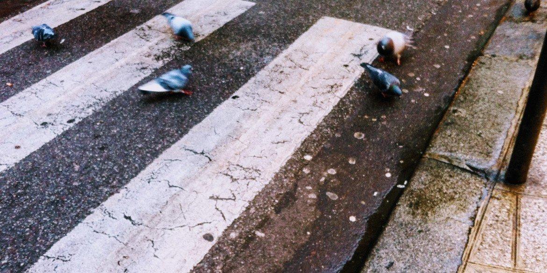 pigeons scavenge on pavement at white painted pedestrian crosswalk