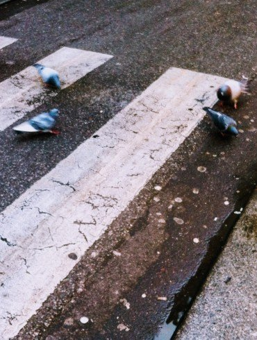pigeons scavenge on pavement at white painted pedestrian crosswalk