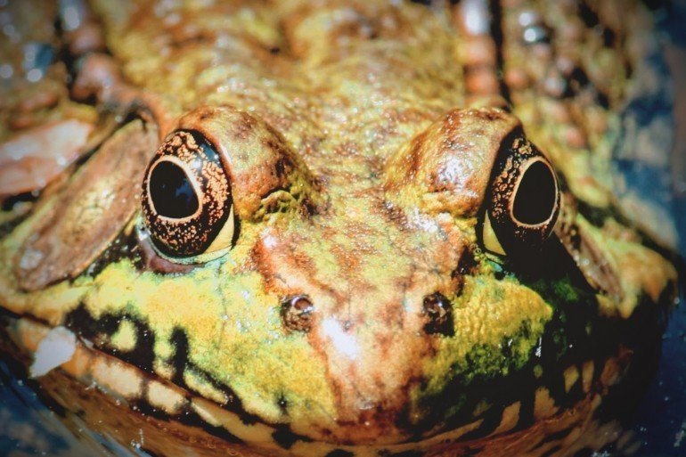 green bullfrog with large black eyes looking fiercely at us