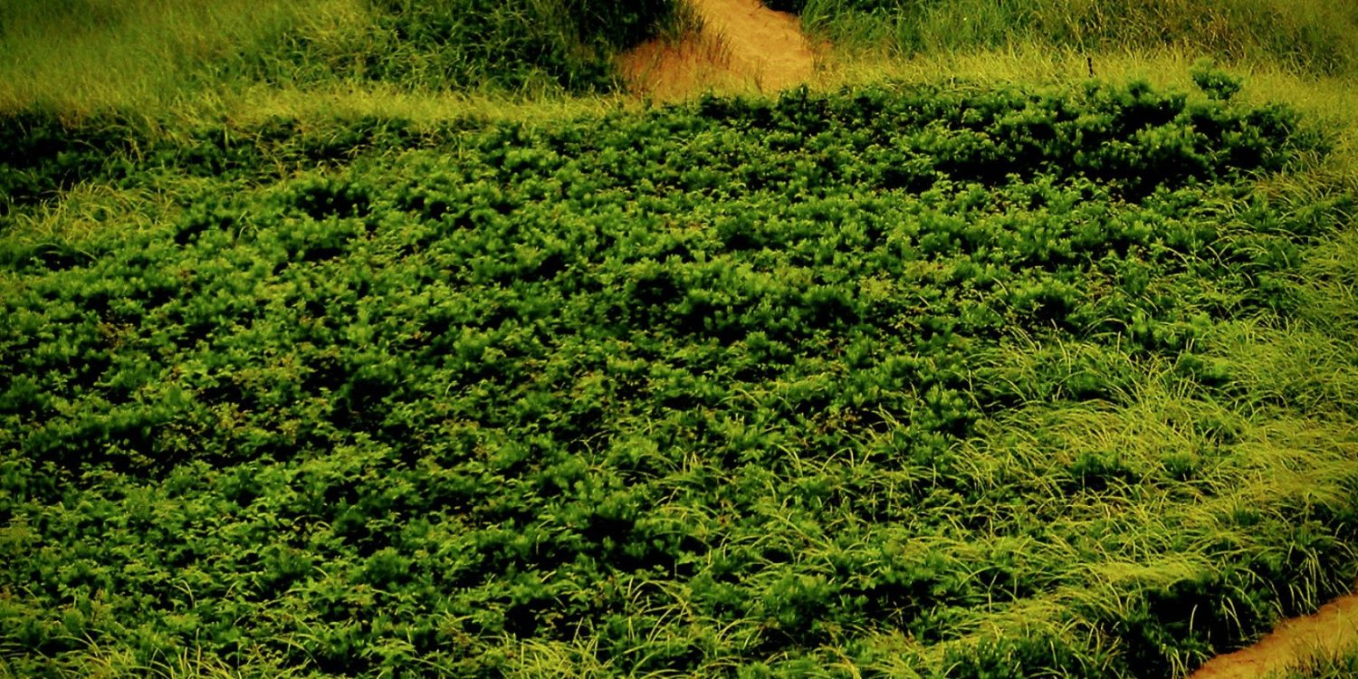 lush green field of grass and shrubs