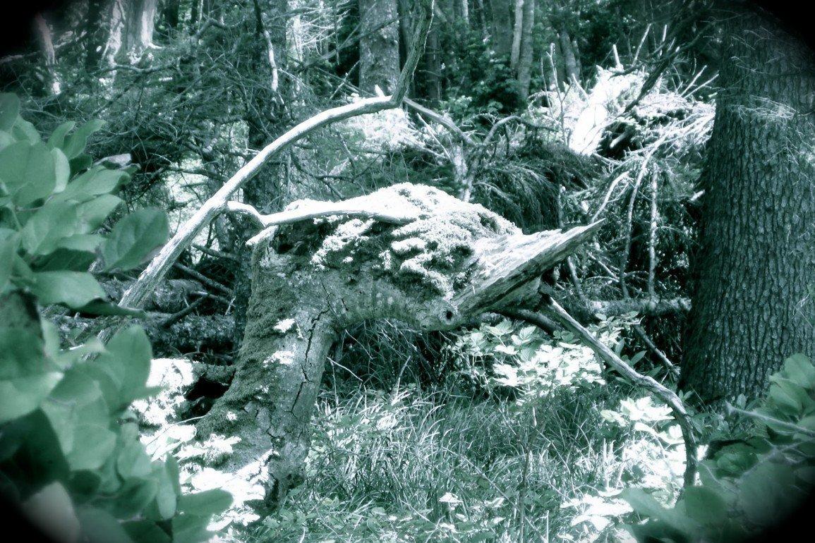 tree stump shaped like dinosaur bird's beak in overgrown forest