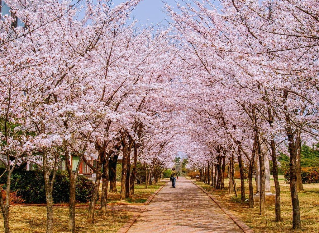 woman walks on cobbled path between beautiful pink Japanese cherry trees, called sakura, in bloom