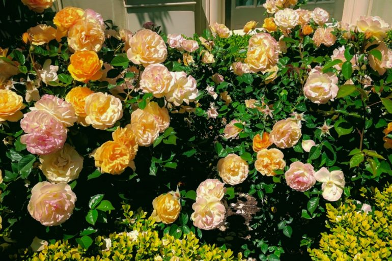numerous yellow roses in bloom on a green leafed bush