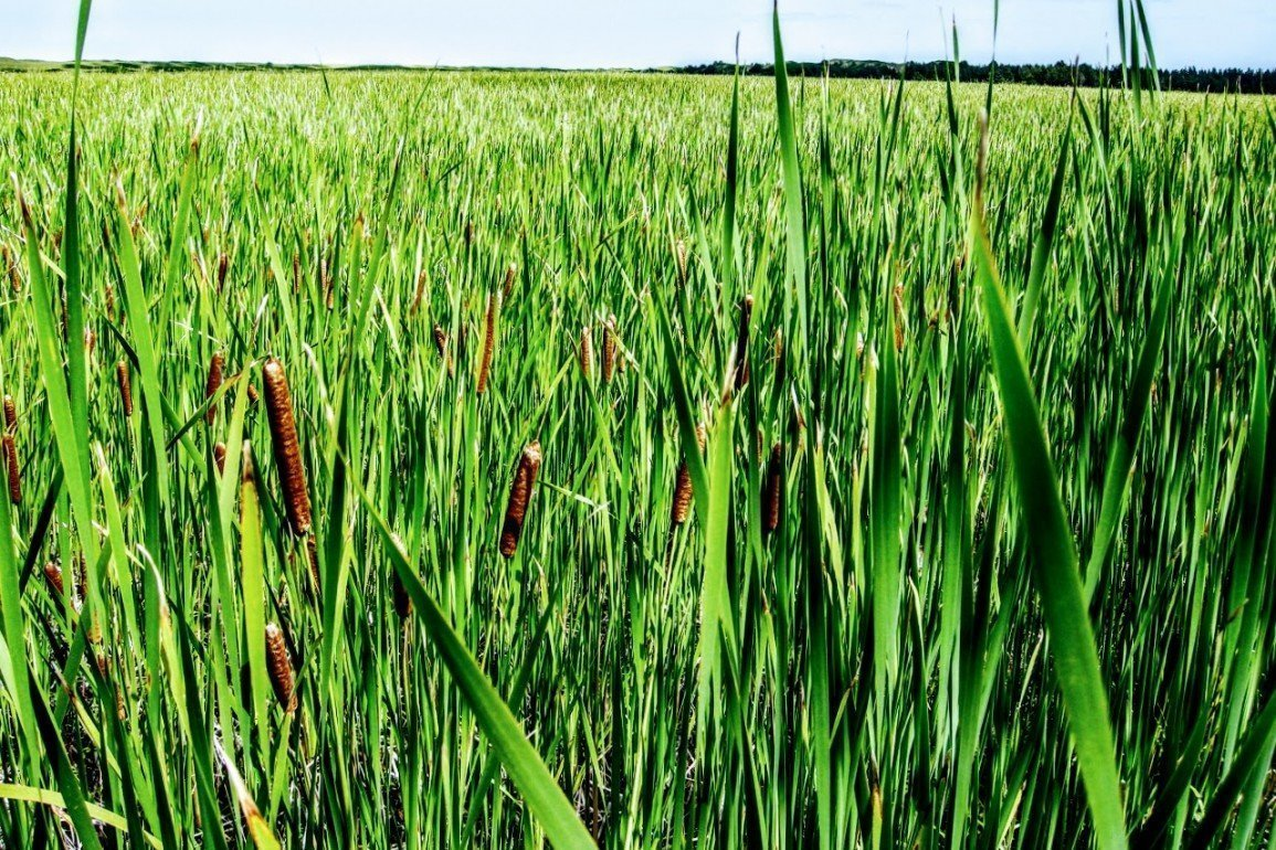 dense field of green leafed bull rushes
