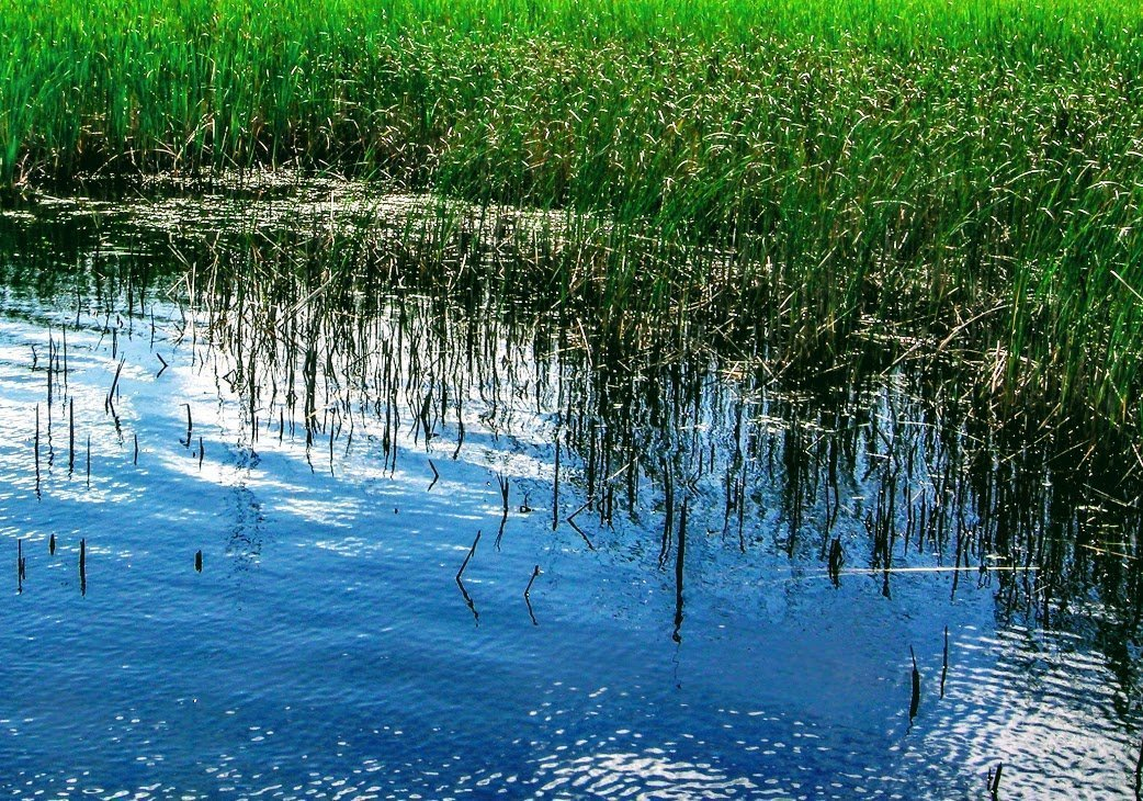 marsh with lush green grass growing in water