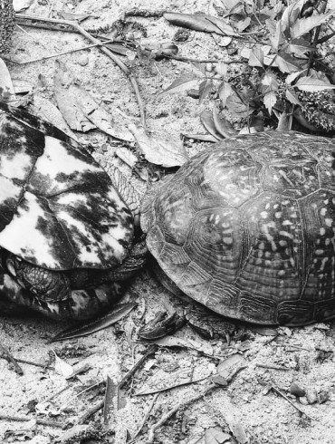 two box turtles mating, both have beautiful shells