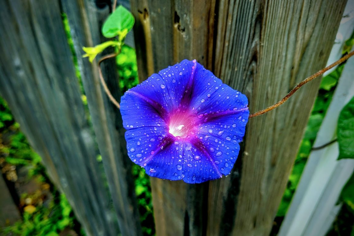 close up of a vibrant blue flower coated with raindrops