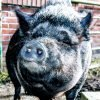 black pig with nose near camera looks like he is smiling