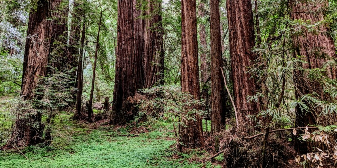 redwood forest with towering trees