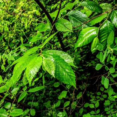 dense green leaves wet with rain