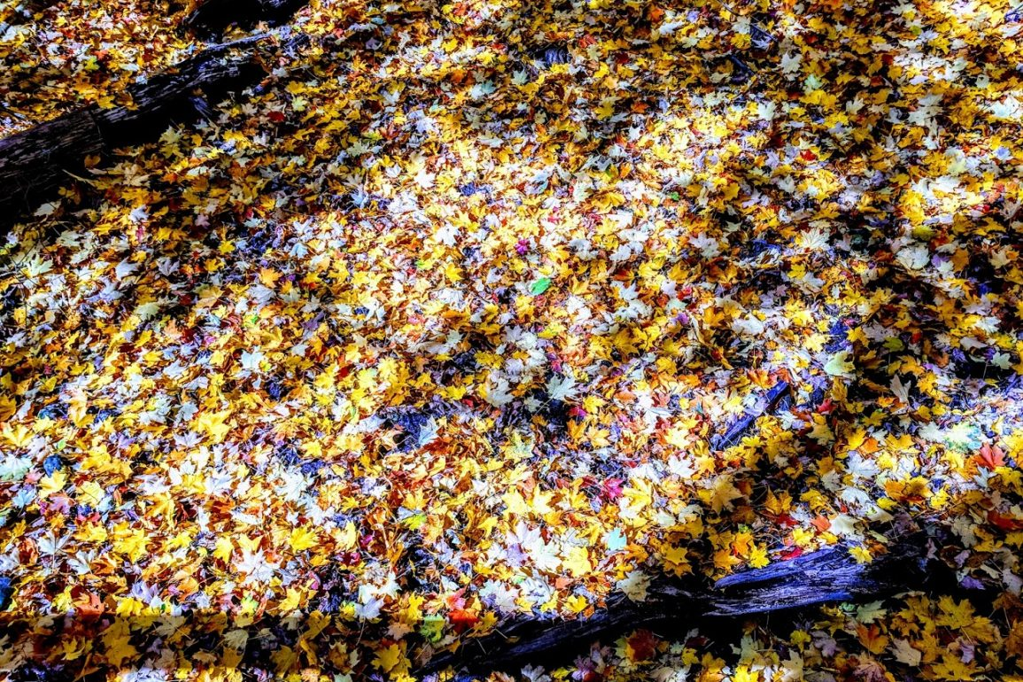 yellow leaves cover forest floor