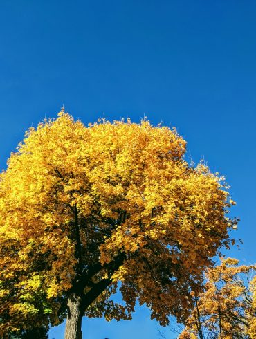 yellow leaves on tree with blue sky