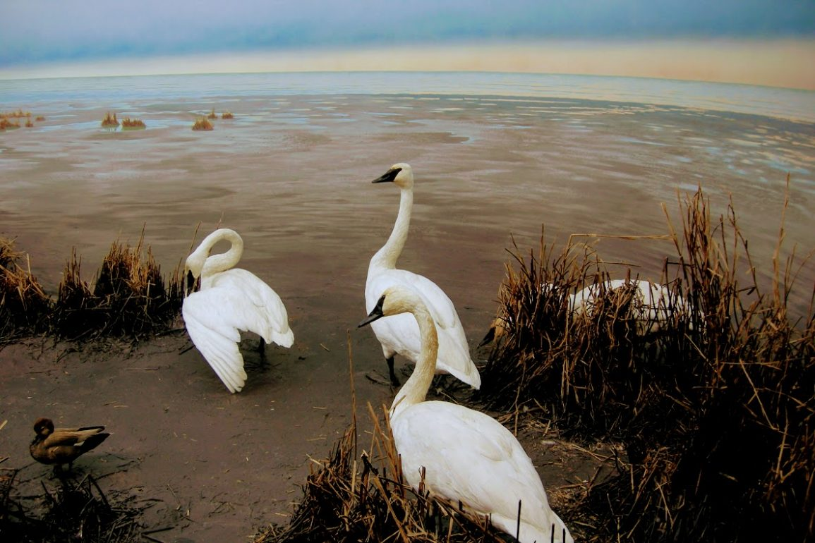 white tundra swans on a beach