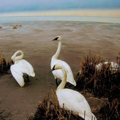 white tundra swans on a beach