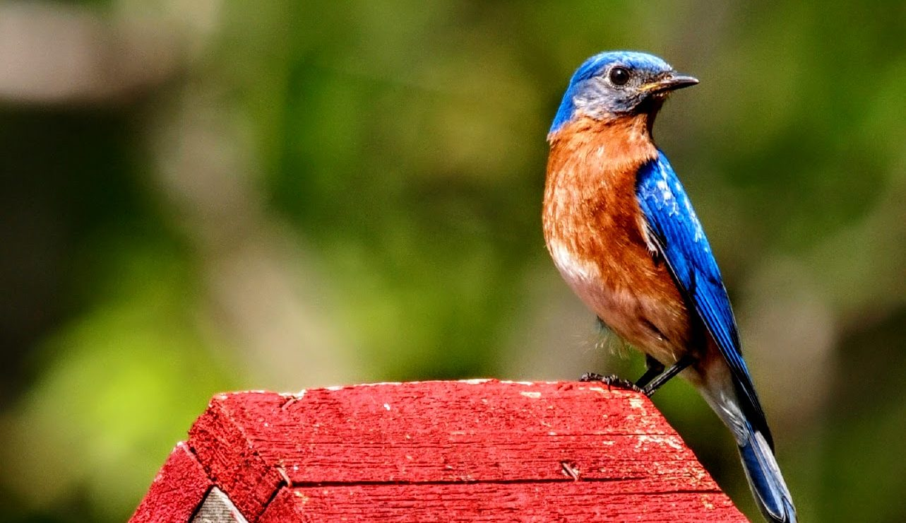bluebird perched on red birdhouse roof