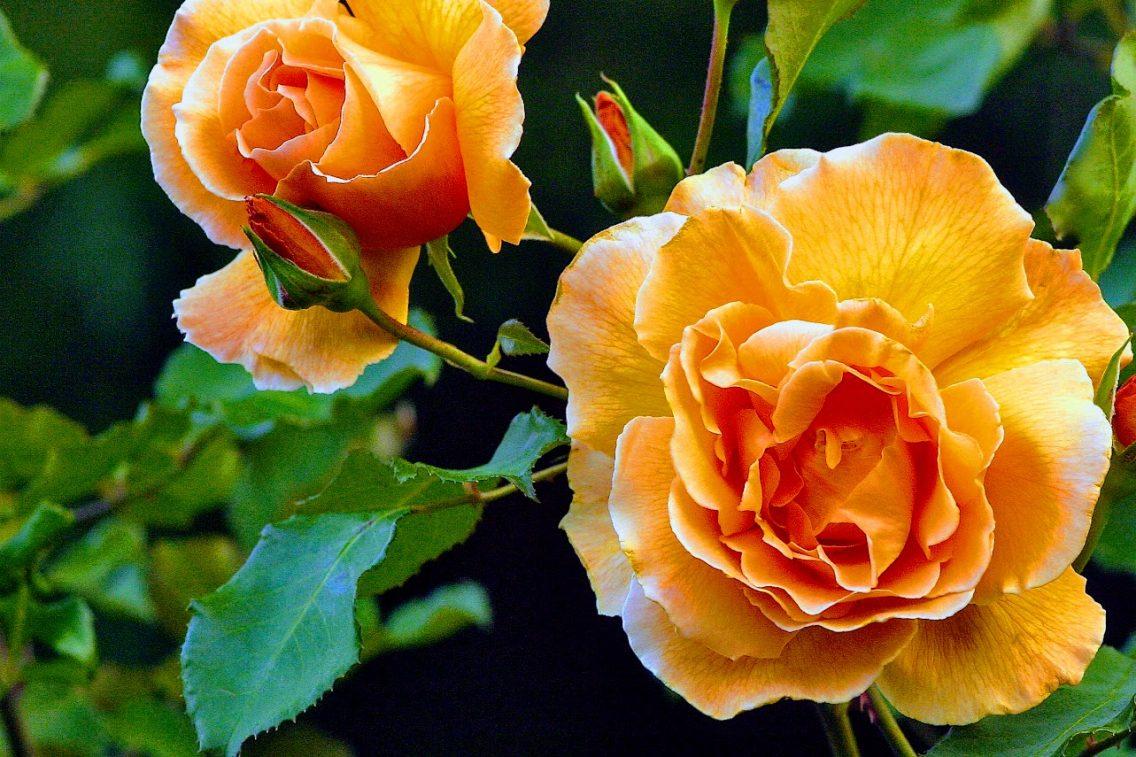 beautiful pale orange roses