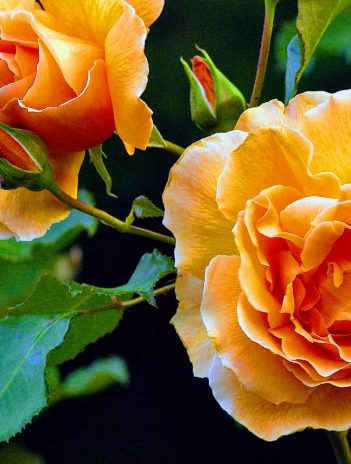 beautiful pale orange roses