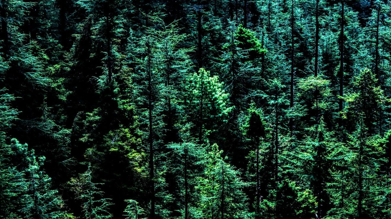 evergreen forest seen from above in aerial perspective