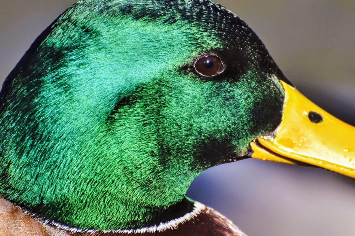 mallard duck with emerald green head