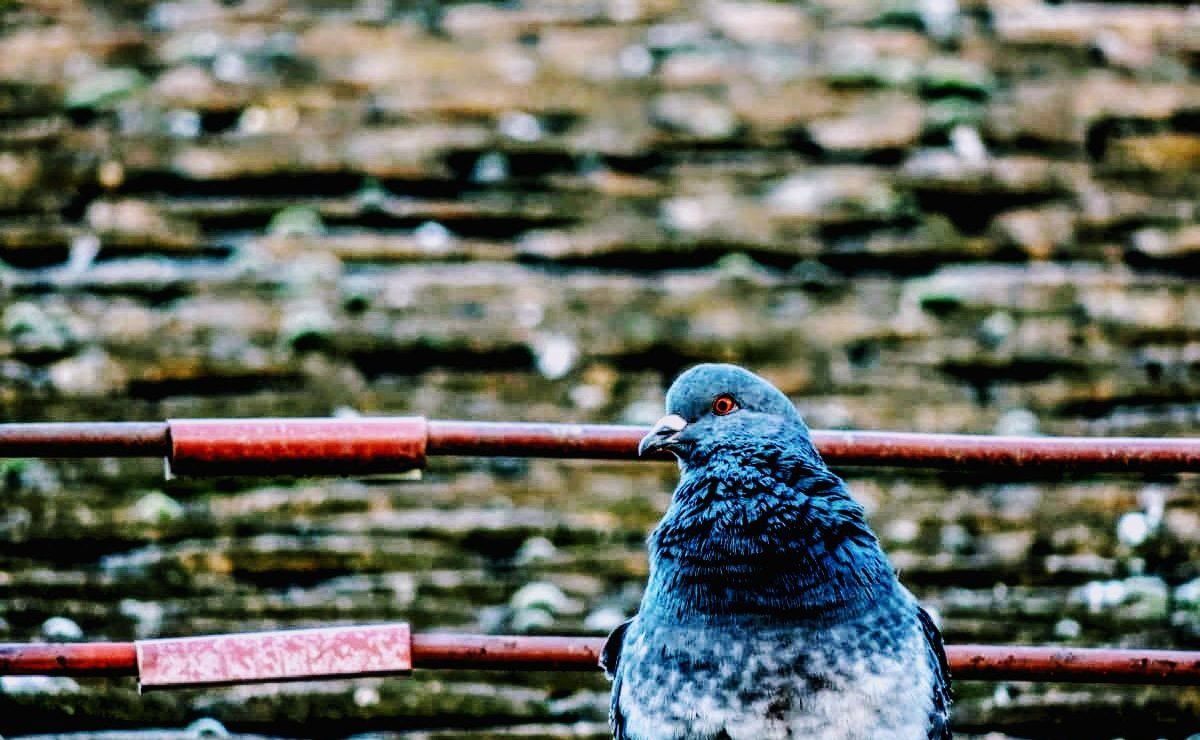 pigeon in front of a stone wall