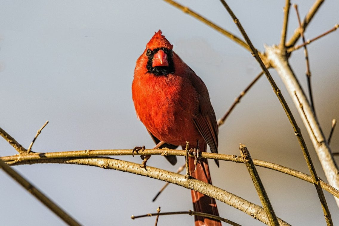 red cardinal perched on a bare branch