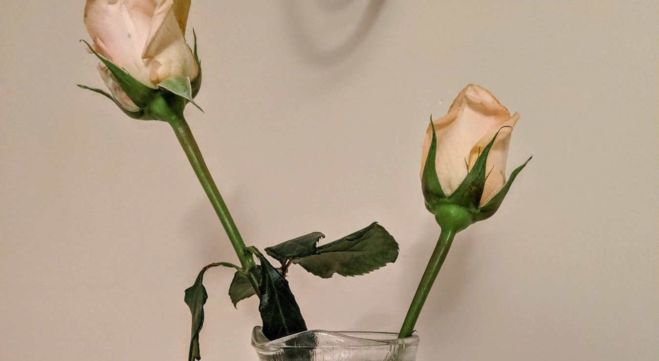two wilted yellow roses in a glass jar