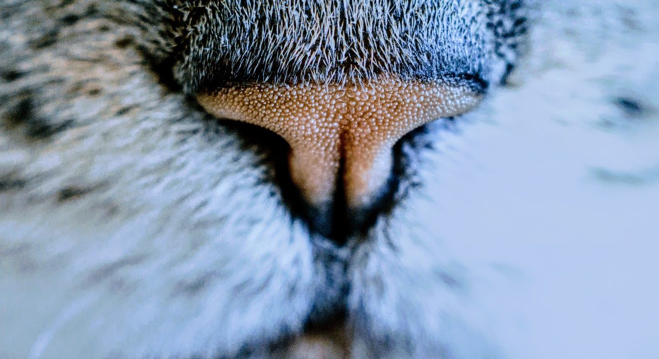close view of a cat's nose and whiskers
