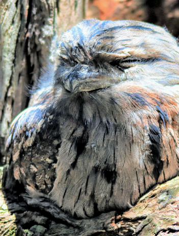 frogmouth sits on a branch
